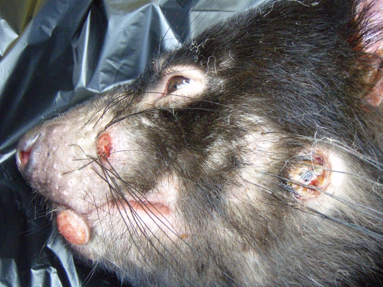 Tasmainian Devil with Devil Facial Tumour Disease
