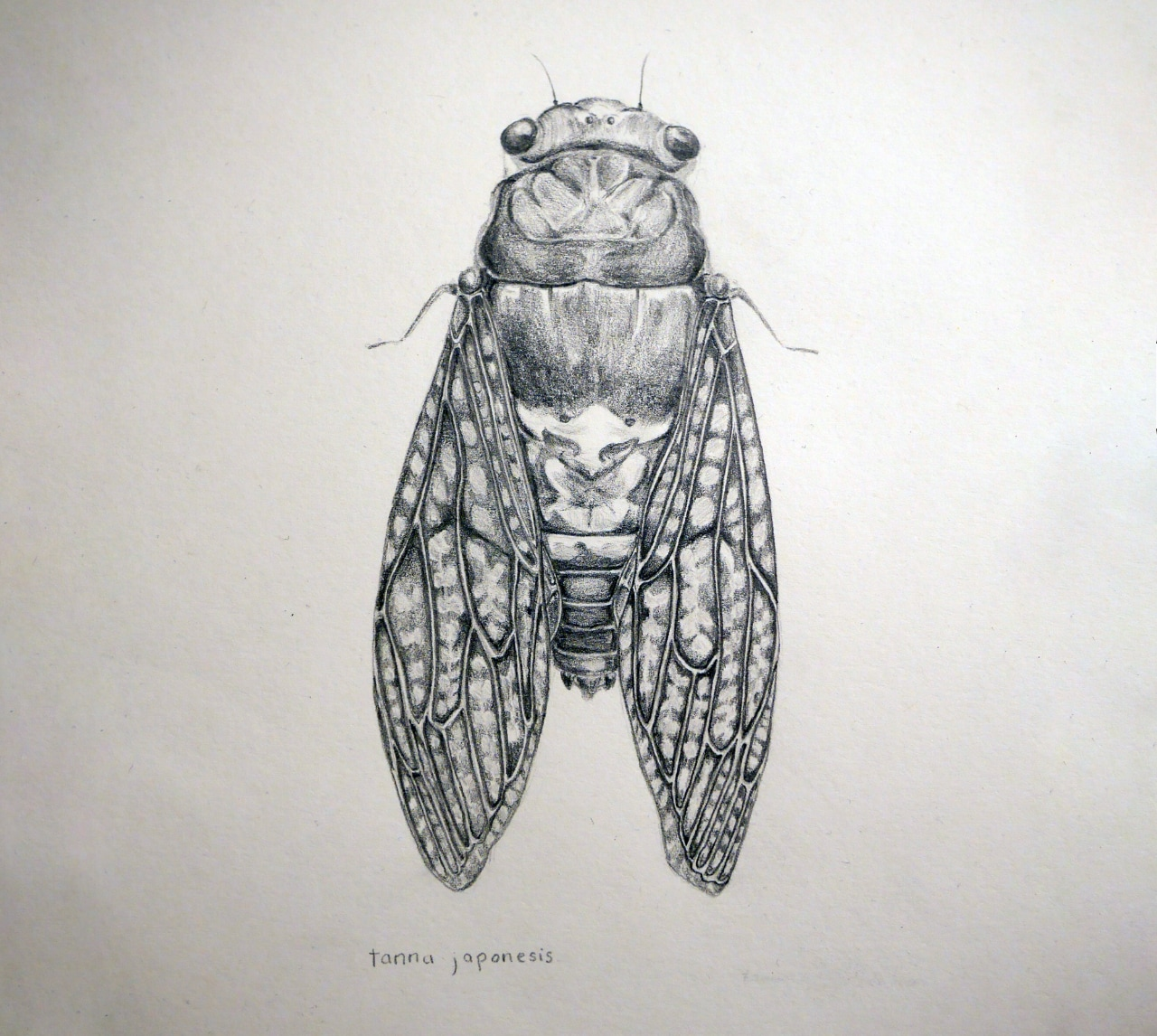 Cicada drawing by Stephanie Dodd