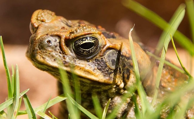 The cane toad was introduced to Australia in 1935.