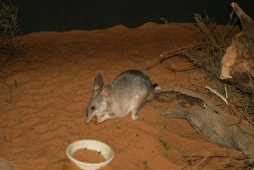 Bilby in a red sand enclosure