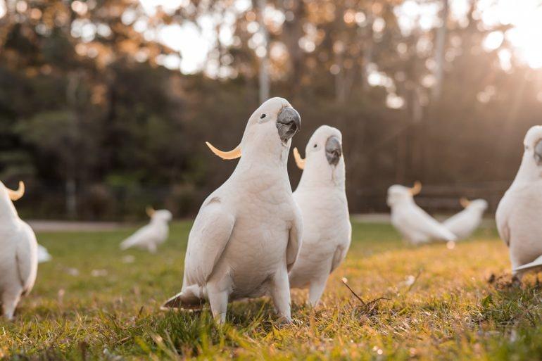 Sulfur crested cockatoos
