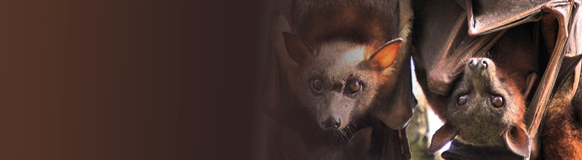 Photo of flying foxes.