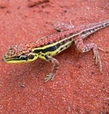 Photo of a lizard in the Simpson desert