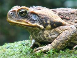 The relentless march of the toad now means that they have expanded their range to encompass more than a million square kilometres of tropical and sub-tropical Australia and have even reached as far as northern NSW