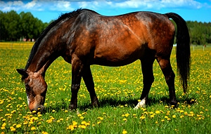 A manuka honey gel applied to horse's leg wounds led to 27 percent faster healing times.