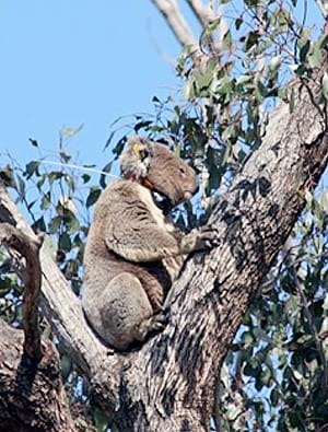 The researchers used GPS collars to track the koalas' movements over three months.