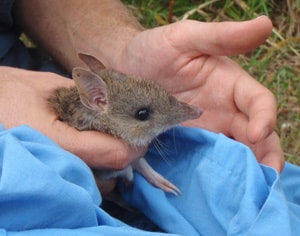 Homegrown animals like the bandicoot are helping our researchers to decide when an introduced species becomes native