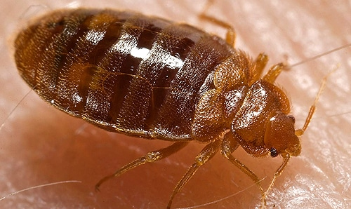 Bed bugs are difficult for even professionals to completely exterminate.