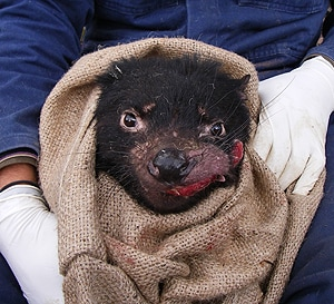 A Tasmanian devil with Devil Facial Tumour Disease. [Image: Rodrigo Hamede, University of Tasmania]