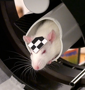 A marker on the rat allows the motion of its head to be imaged by a PET scan.