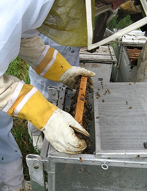 Varroa-infested bees being collected for the study.