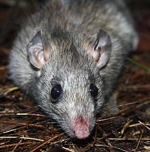 The researchers manipulated the rats' sense of smell to keep them from preying on vulnerable species. [Image: Mal Weerakoon]