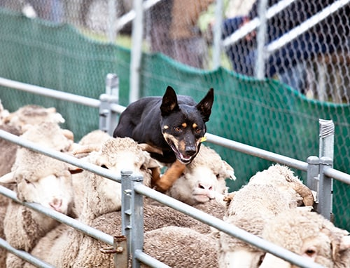 Faculty of Veterinary Science research reveals the return a herding dog provides on its work. [Image:Australian Working Dog Rescue Inc]