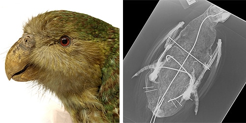 An X-ray of the museum's kakapo specimen revealed its wire innards.