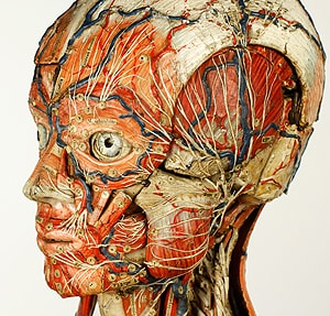 Anatomical male closeup, one of the models on display at the Macleay Museum. [Image: Tim Harland]