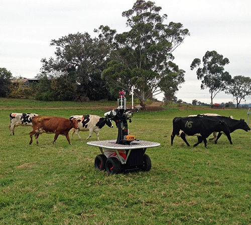 The 'Shrimp' interacts with University of Sydney  dairy cows at 'Corstorphine' dairy farm in Camden. This collaborative effort between ACFR and the Dairy Science Group (Faculty of Veterinary Science) aims to reduce time spent in repetitive tasks such as herding the cows for milking.