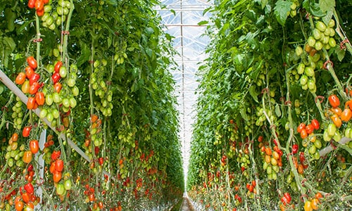 Tomato plants in a 37 ha glasshouse image courtesy Perfection Fresh