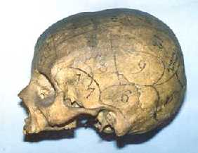 Skull with phrenological delineations