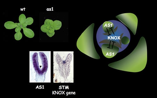 Interactions between AS1 and KNOX genes