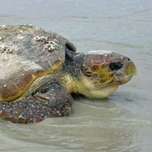 Loggerhead Turtle Caretta caretta. Photo: David Pike.