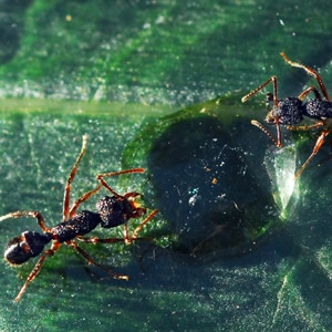 Rhytidoponera sp Green Headed ants. Photo: SOBS.