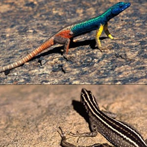 The male Augrabies Flat Lizard (Platysaurus broadleyi) are brightly coloured to attract the attention of the much duller females. Photo: Martin Whiting.