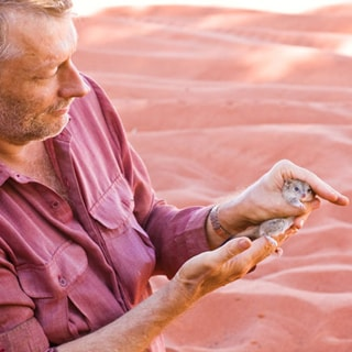 Professor Chris Dickman on a research field trip examining Dasycercus cristicauda, also called Mulgara, a carnivorous marsupial found in the Simpson Desert. Photo Credit: Aaron Greenville.