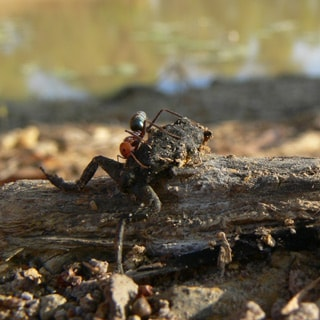 Meat Ant vs. Toad. Credit: Georgia Ward-Fear.