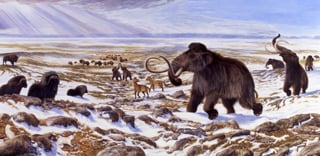 Beringian megafauna in the Late Quaternary included muskoxen and woolly mammoths. Image credit George Teichmann.