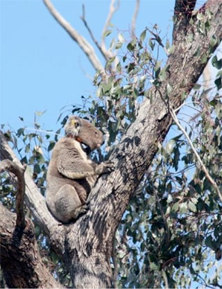 After trapping koalas, the researchers attach GPS collars to track individuals for weeks to months. Photo credit: D.Lunney