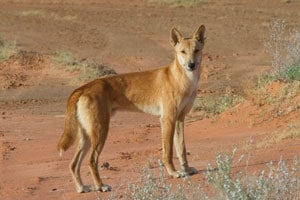 Dingo (Canis lupus dingo). Photo courtesy of Bobby Tamayo, Desert Ecology Research Group, University of Sydney.