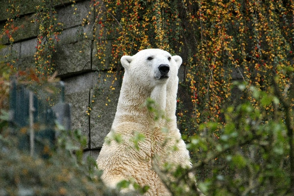 Lars, a polar bear in the Wuppertal Zoo in Germany, survived an infection by a zebra virus. [Image: Zoo Wuppertal/Barbarar Scheer]