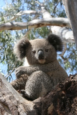 Understanding the habits and habitat of Australia's iconic Koala is the focus of an ARC Linkage grant