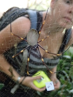 Lizzy Lowe measuring a golden orb-weaving spider