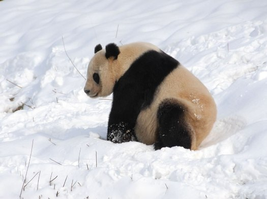 Researchers found that giant pandas switch between four different bamboo diets to gain key nutrients required to successfully reproduce.