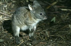 A photo of a marsupial