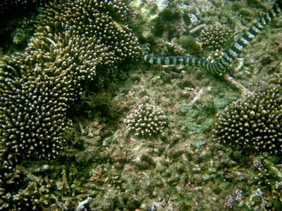 A black-and-white banded turtle-headed sea snake, the species used in the study. Photo credit: Terri Shine.