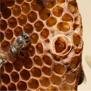 Worker of the Cape honey bee subspecies, who are able to give birth to female offspring, pictured next to a queen cell in which worker-laid eggs are clearly visible (inside the white circle). Photo courtesy of Ben Oldroyd.