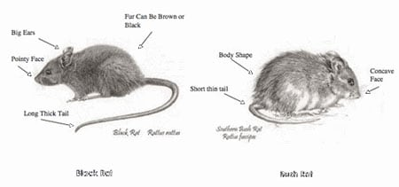 Rat race: differences between pest black rats (on left) and native Boguls (on right).
