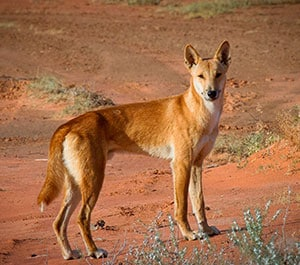 Sturt National Park in north-western NSW would be an ideal site to test whether dingoes can help restore biodiversity and degraded rangelands. Image: Bob Tamayo